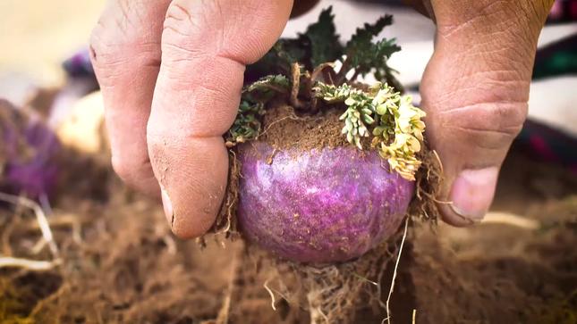 MINAGRI promueve la producción y consumo de maca peruana